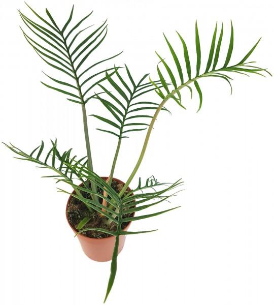 Philodendron bipinnatifidum tortum - Baumphilodendron