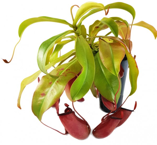 Nepenthes Bloody Mary blutrote Kannenpflanze
