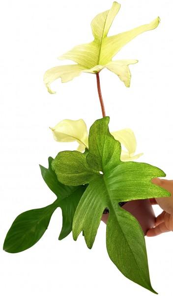 philodendron florida ghost weiße blätter kletterpflanze rankpflanze zimmerpflanze selten rar rarität kaufen bestellen zierpflanze seltenheit baumfreund