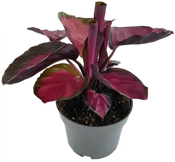 Calathea roseopicta 'Rosy' - violette Korbmarante
