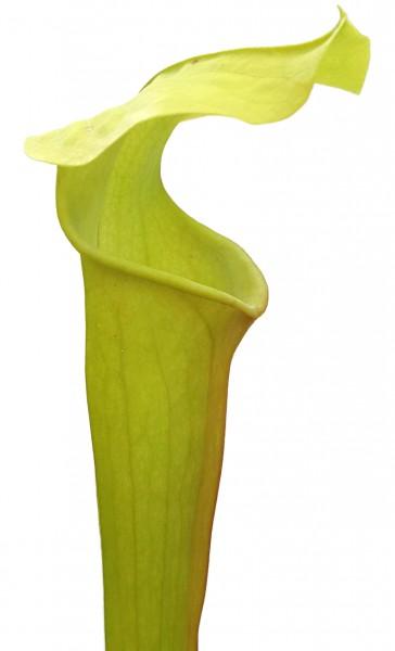 Sarracenia Alata - Green Form, Yellow Flower