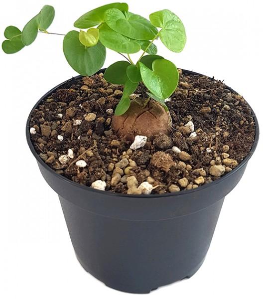 Testudinaria elephantipes - Schildkrötenpflanze