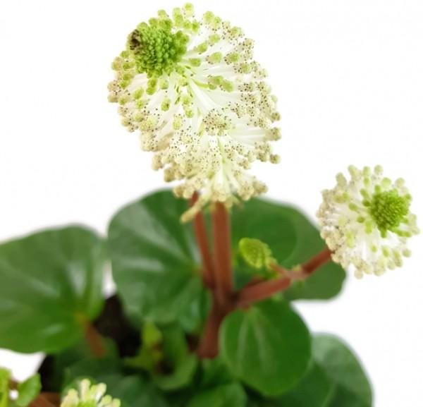 Peperomia fraseri - Klobürstenpflanze