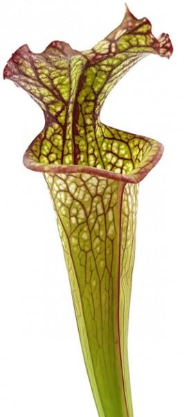 Sarracenia Lynda Butt - Samen