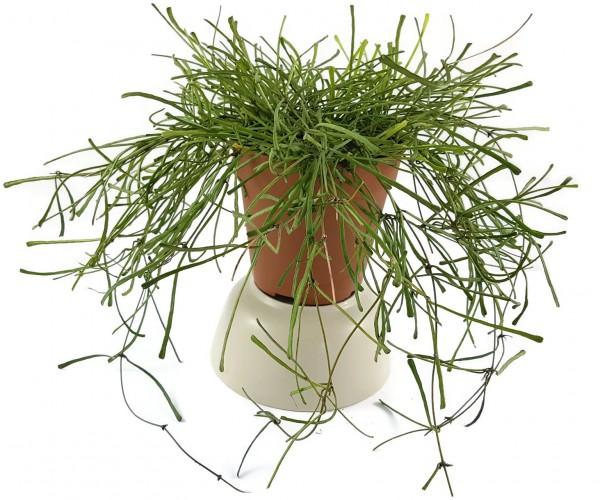 Hoya retusa - Wachsblume
