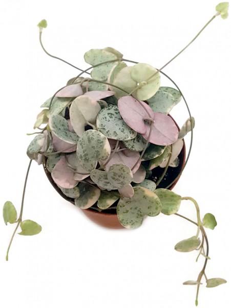 Ceropegia linearis ssp. woodii variegata - Leuchterblume