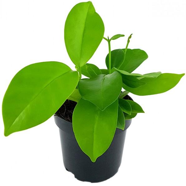 Hoya australis ssp. tenuipes - Porzellanblume