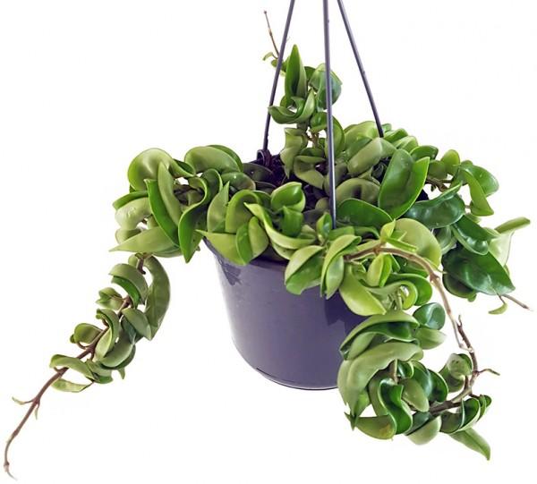 Porzellanblume Hoya carnosa compacta pflegeleichte Wachsblume hängende Zimmerpflanze