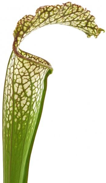 Sarracenia 'Microleuco'