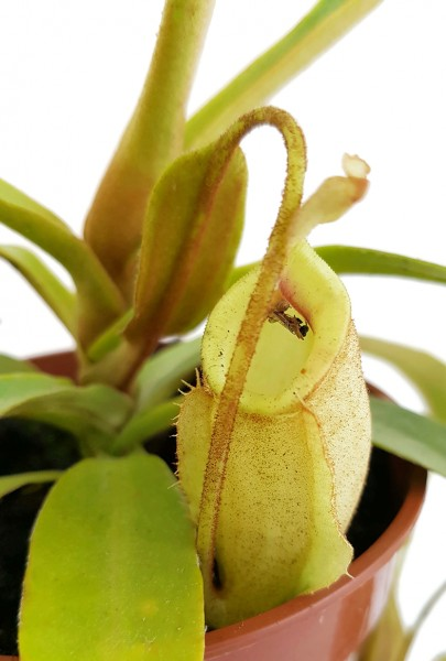 Nepenthes X 'Hookeriana' - Ghost