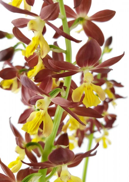 Calanthe sieboldii x discolor Takane Orchidee - Hybridenmix