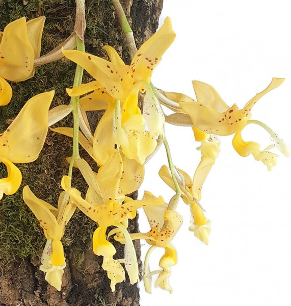 Stanophea jenischiana - duftende Tigerorchidee