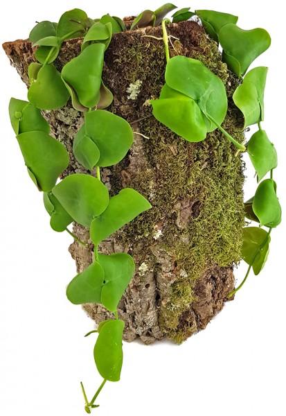 Dischidia platyphylla - seltene Urnenpflanze
