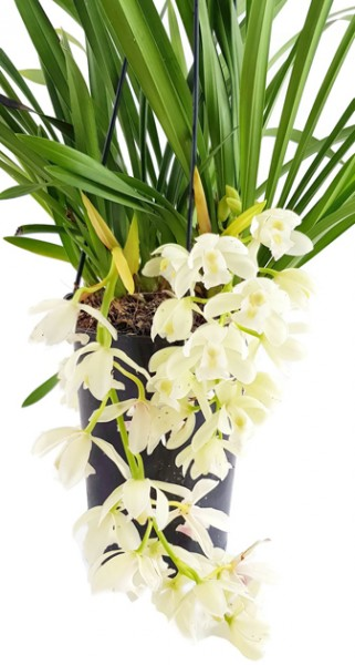 Cymbidium 'Ice Cascade' - Orchidee