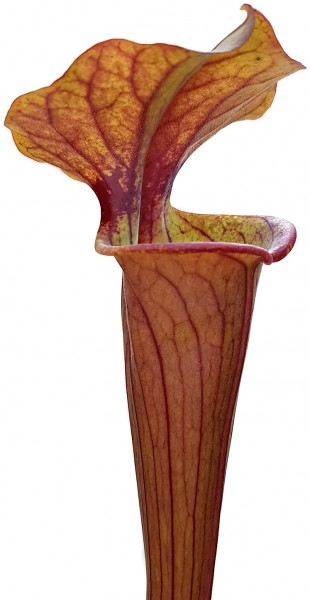 Sarracenia 'Tygo'