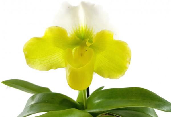 Paphiopedilum - exotischer gelb, weißer Frauenschuh