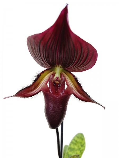 """Orchidee - Paphiopedilum """"Vinicolor"""""""