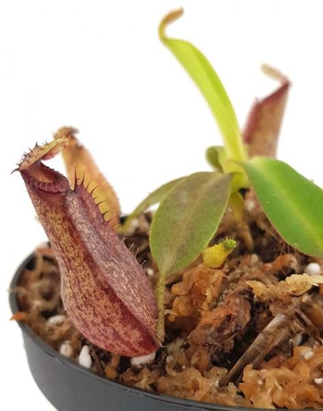 Nepenthes glandulifera x hamata BE-3953