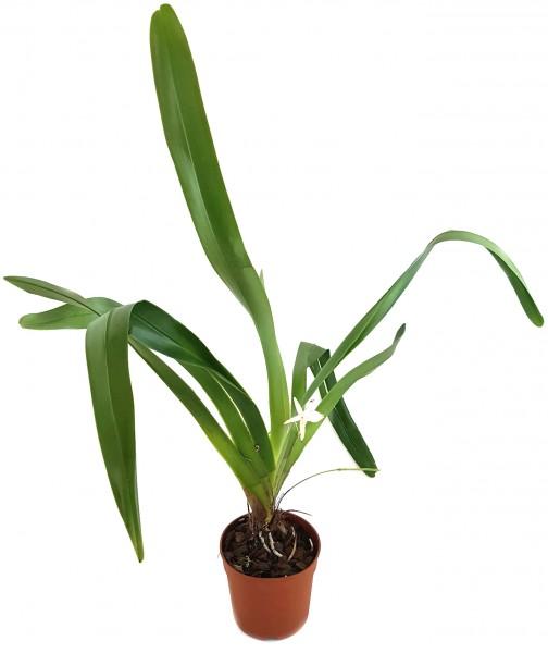 Jumellea arachnantha - Orchidee