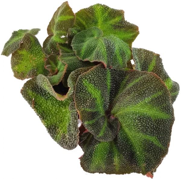 Begonia rex Hybride - Begonie