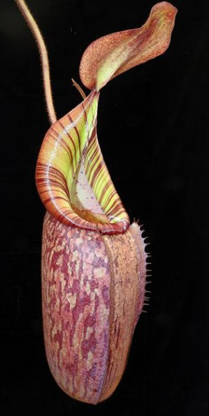 Nepenthes spectabilis x veitchii BE-3664