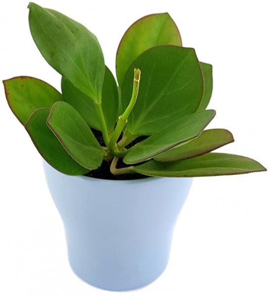 Hoya pachyclada - blühfreudige Wachsblume