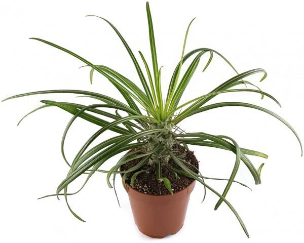 Pachypodium geayi - Sukkulente