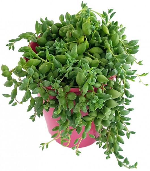 Senecio rowleyanus - Erbsenpflanze