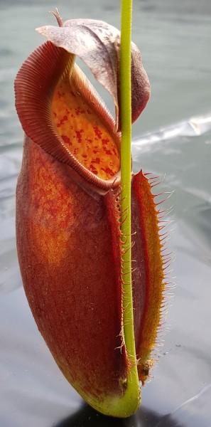 Nepenthes spathulata x dubia Hybride Kreuzung borneo exotics hochlandpflanze Kannenpflanze fleischfressende pflanze zum hängen ampelpflanze fensterbank sonnig hell nephentes kaufen bestellen online robust zimmerpflanze selten karnivore