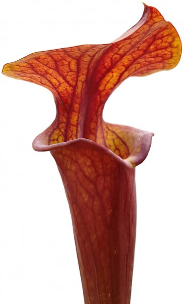 Sarracenia Flava var. Atropurpurea - All Red Blackwater Forest, Florida MK 27c