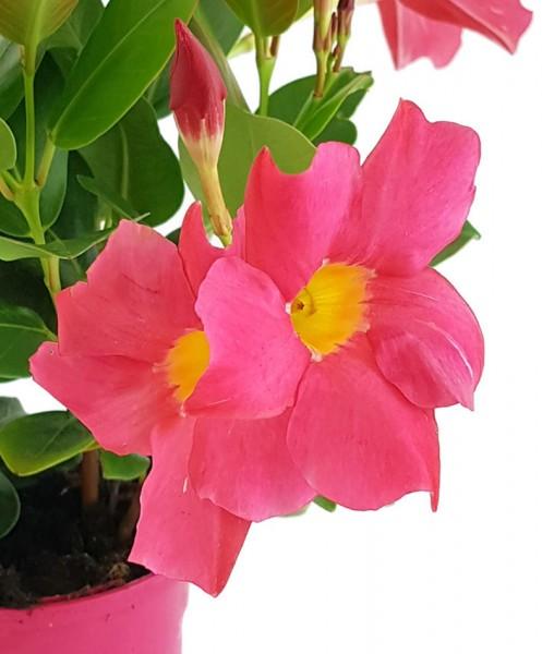 Dipladenia 'Sundaville Pink' - Kletterpflanze