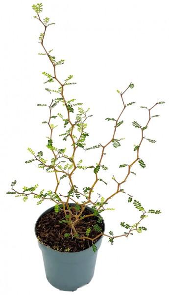 Sophora prostrata 'Little Baby' - Schnurbaum