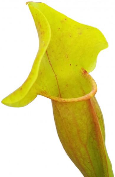"""Sarracenia X Catesbaei (Flava x Puprurea) """"Reverse Veins"""""""