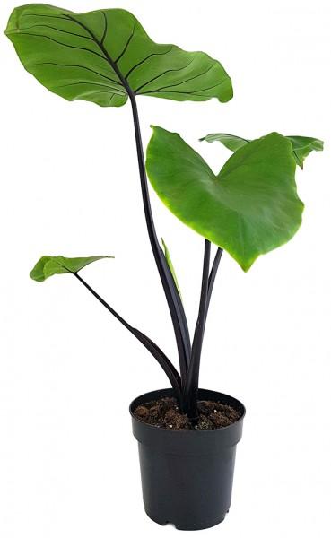 Alocasia macrorrhiza 'Black Stem' - schwarzstieliges Elefantenohr