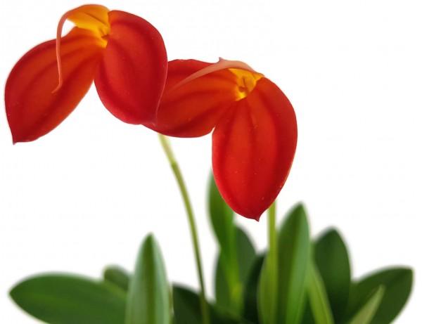Masdevallia ignea - Orchidee