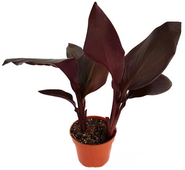 Canna Black Wonder - schwarzes Blumenrohr