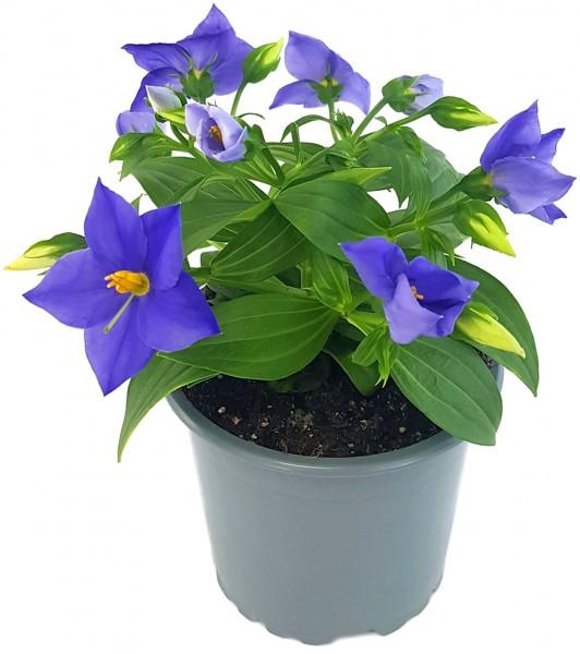 Exacum 'Sapphire' - kompakte Blühpflanze