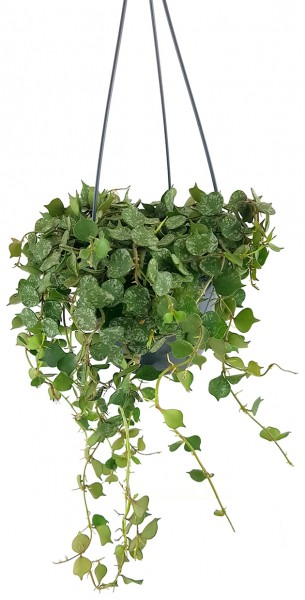 Hoya curtisii - stilvolle Porzellanblume