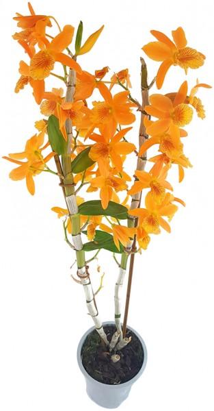 """Dendrobium Stardust """"chiyomi"""" - Traubenorchidee"""
