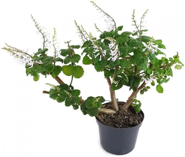 Plectranthus ernstii - 'Bonsai Minze'