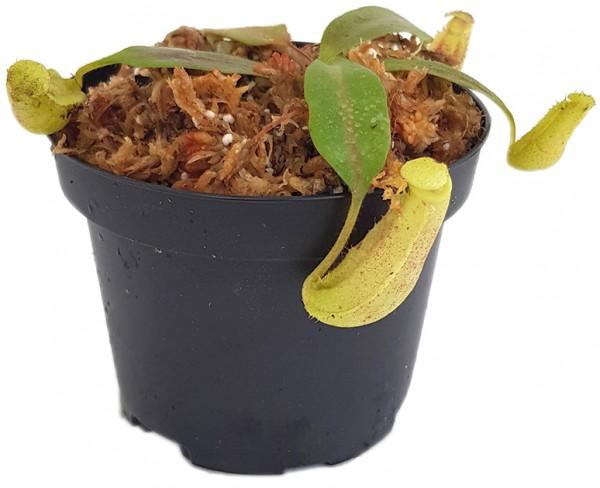 Nepenthes burbidgeae x veitchii BE-3723