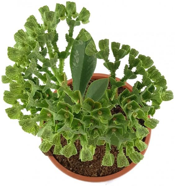 Monadenium echinulatum - Euphorbie