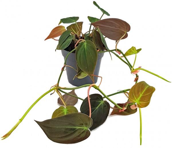 Philodendron Micans - samtiger Baumfreund