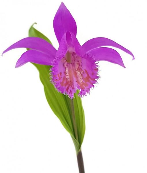 zwergorchidee tibetorchidee pleione himalayaorchidee erdorchidee orchidee