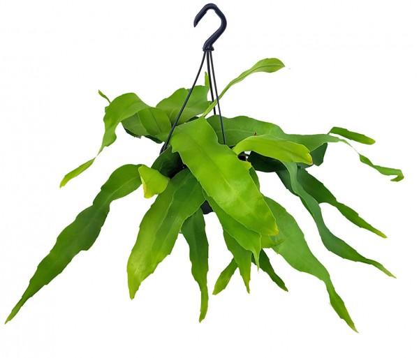 Epiphyllum oxypetalum - breiter Blattkaktus