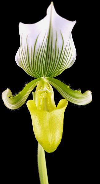 Paphiopedilum 'Maudiae Femma' - Frauenschuh Orchidee