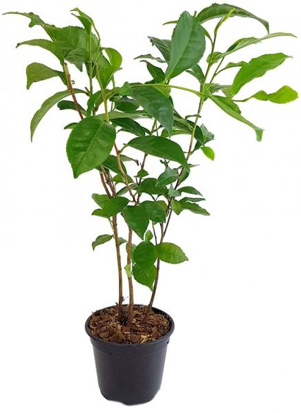 Camellia sinensis - echte Teepflanze