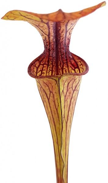 Sarracenia Oreophila DeKalb MK O5