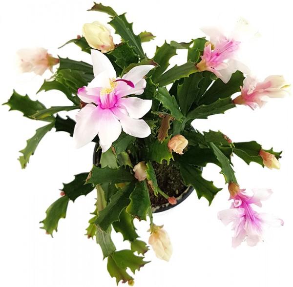 Schlumbergera Hybride - Weihnachtskaktus weiß / rosa Blüte