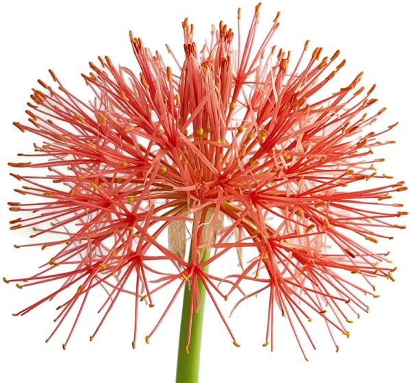 scadoxus multiflorus blutblume Haemanthus selten exotisch blumenzwiebel knolle